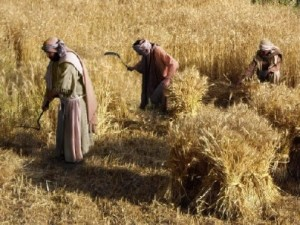 Both barley and wheat were harvested with a sickle.